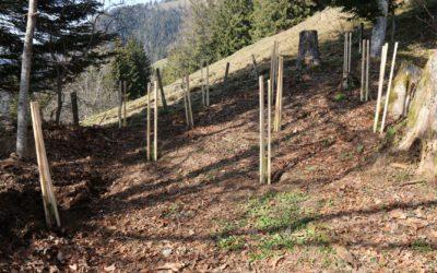 Forêt du chalet : plantation de pins Douglas (01.04.2021)